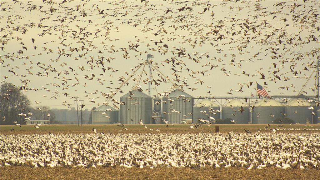 outdoorhub-give-snow-goose-hunting-shot-spring-2015-02-25_13-47-17